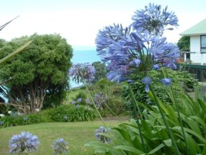 Agapanthus Praecox - Image courtesy of Weedbusters
