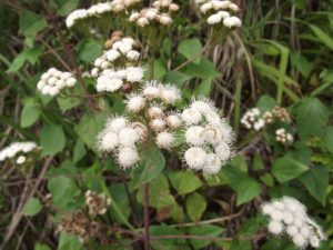 Ageratina Adenophora - Image courtesy of Weedbusters