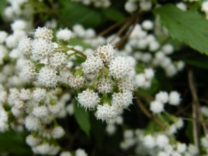 Ageratina Riparia - Image courtesy of Weedbusters