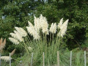 Cortaderia Selloana - Photo courtesy of Weedbusters