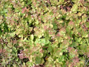 Crassula Multicava - Image courtesy of Weedbusters