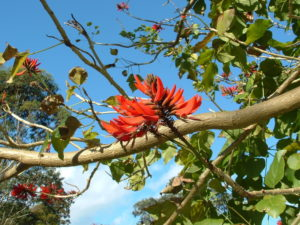 Erythrina x sykesii - Image courtesy of Weedbusters