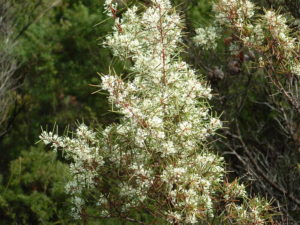 Hakea sericea - Image courtesy of Weedbusters