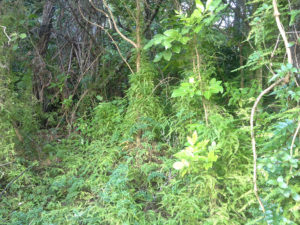 Climbing asparagus