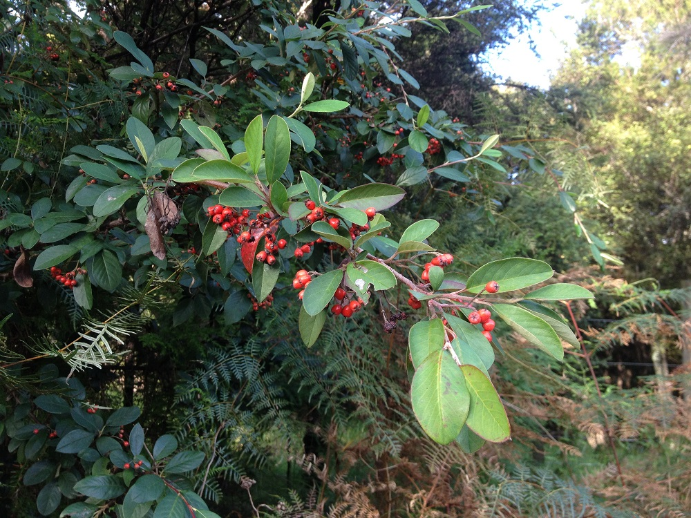Cotoneaster Glaucophyllus - Photo courtesy of Weed Busters