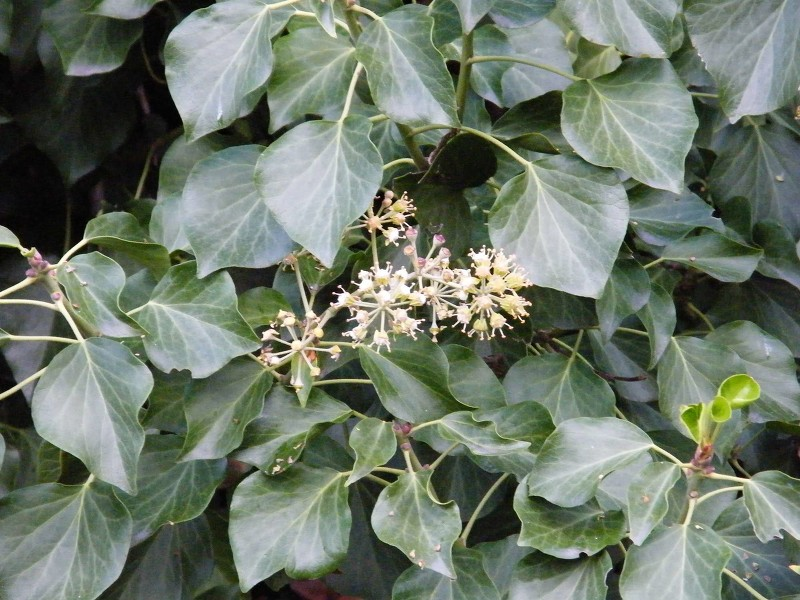 Hedera Helix Subhelix - Image courtesy of The New Zealand Plant Conservation Network