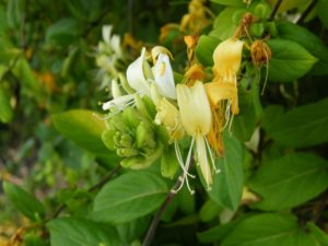 Lonicera japonica - Image courtesy of Weedbusters
