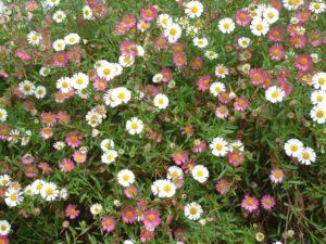 mexican-daisy
