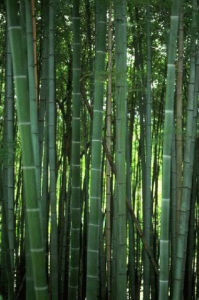 Phyllostachys, Pseudosasa and Bambusa Species - Image courtesy of Auckland council