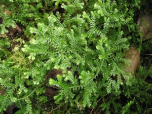 Selaginella Kraussiana - Image courtesy of Weedbusters