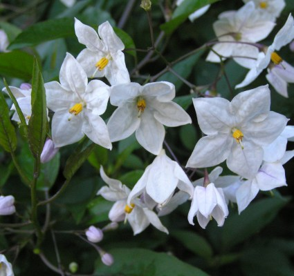 Solanum Mauritianum - Image courtesy of Weedbusters