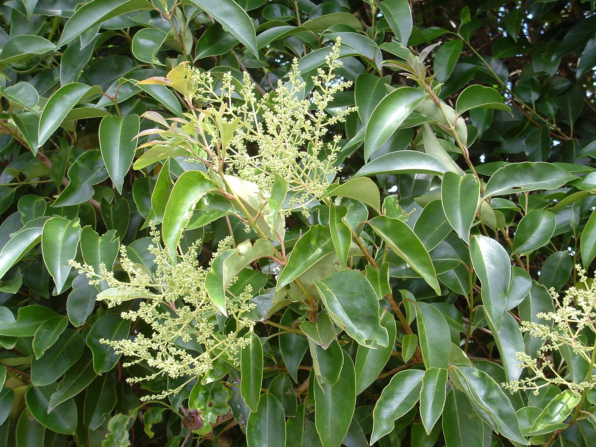 Ligustrum lucidum - Image courtesy of WeedBusters