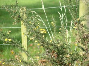 Ulex europaeus - Image courtesy of Weedbusters