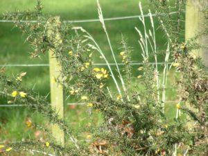 Ulex europaeus - Image courtesy of Weedbusters