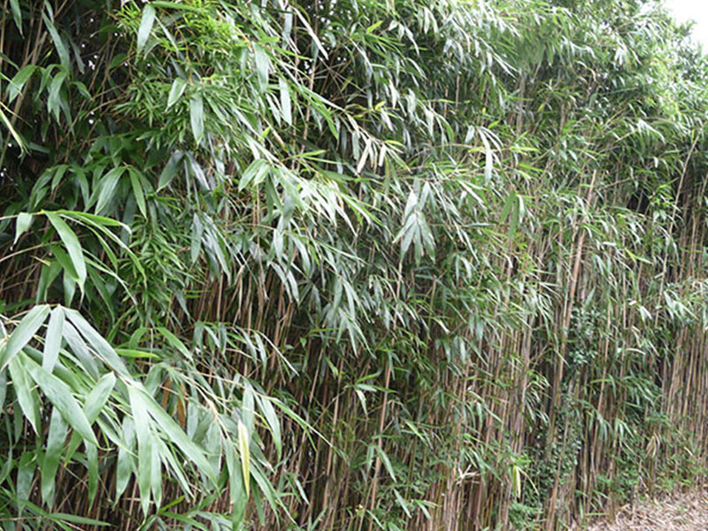 Phyllostachys, Pseudosasa and Bambusa Species