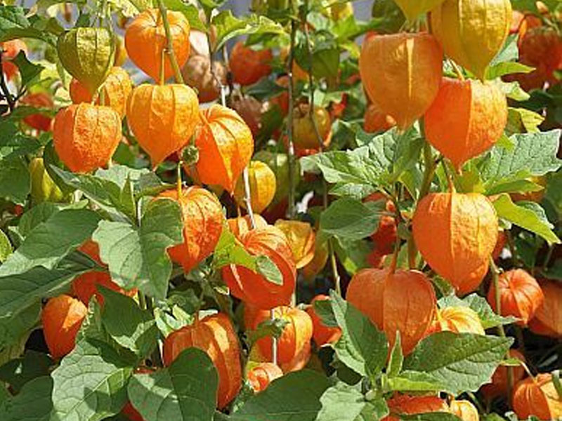 Cape Gooseberry- Image courtesy of exotic plants.