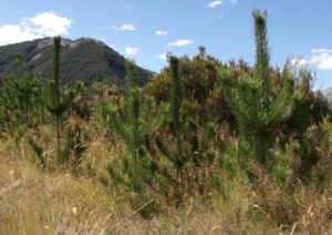 Wilding Pine - Image courtesy of LANDCARE RESEARCH - MANAAKI WHENUA